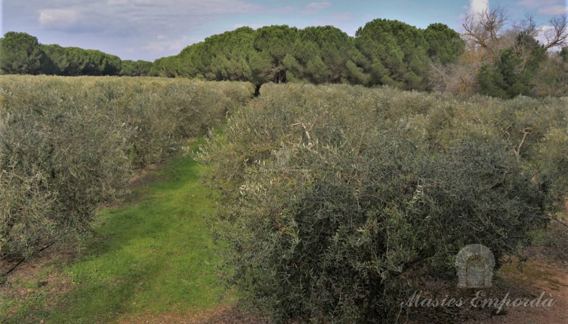 View of the olive field