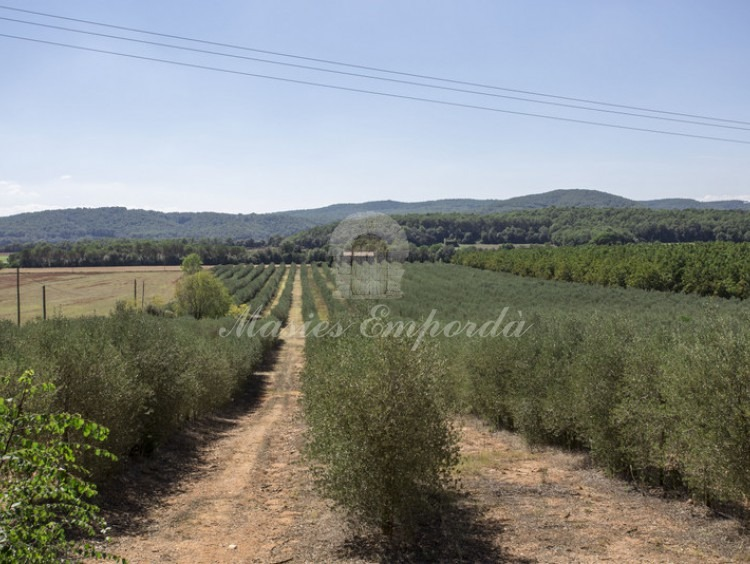 Olive groves of the property next to the farmhouse
